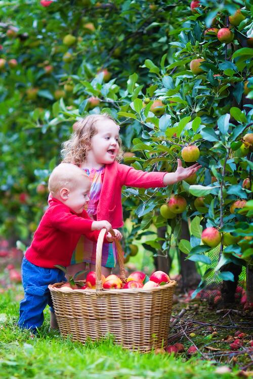 เก็บผลไม้
